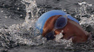 Diana Nyad: Swimming from Cuba to Florida