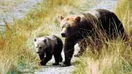 Grizzly bear tourism