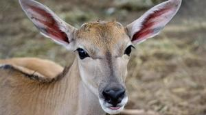 Busch Gardens: Newborn antelope to join herd