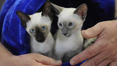 Image result for siamese kittens