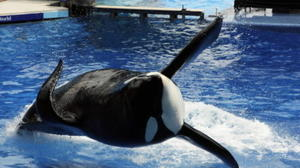 SeaWorld fights for future of killer-whale shows
