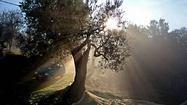 Olive harvesting in Umbria, Italy, drips with tradition