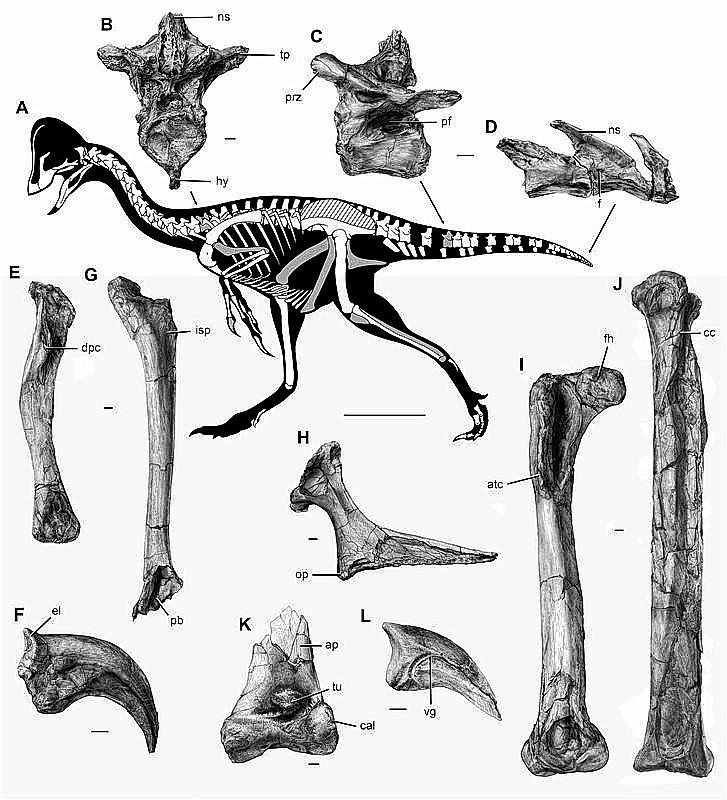 The new oviraptorosaurian dinosaur species Anzu wyliei is shown in this illustration surrounded by images of the individual bones