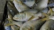 Catch limits debated for 'most important fish in sea'