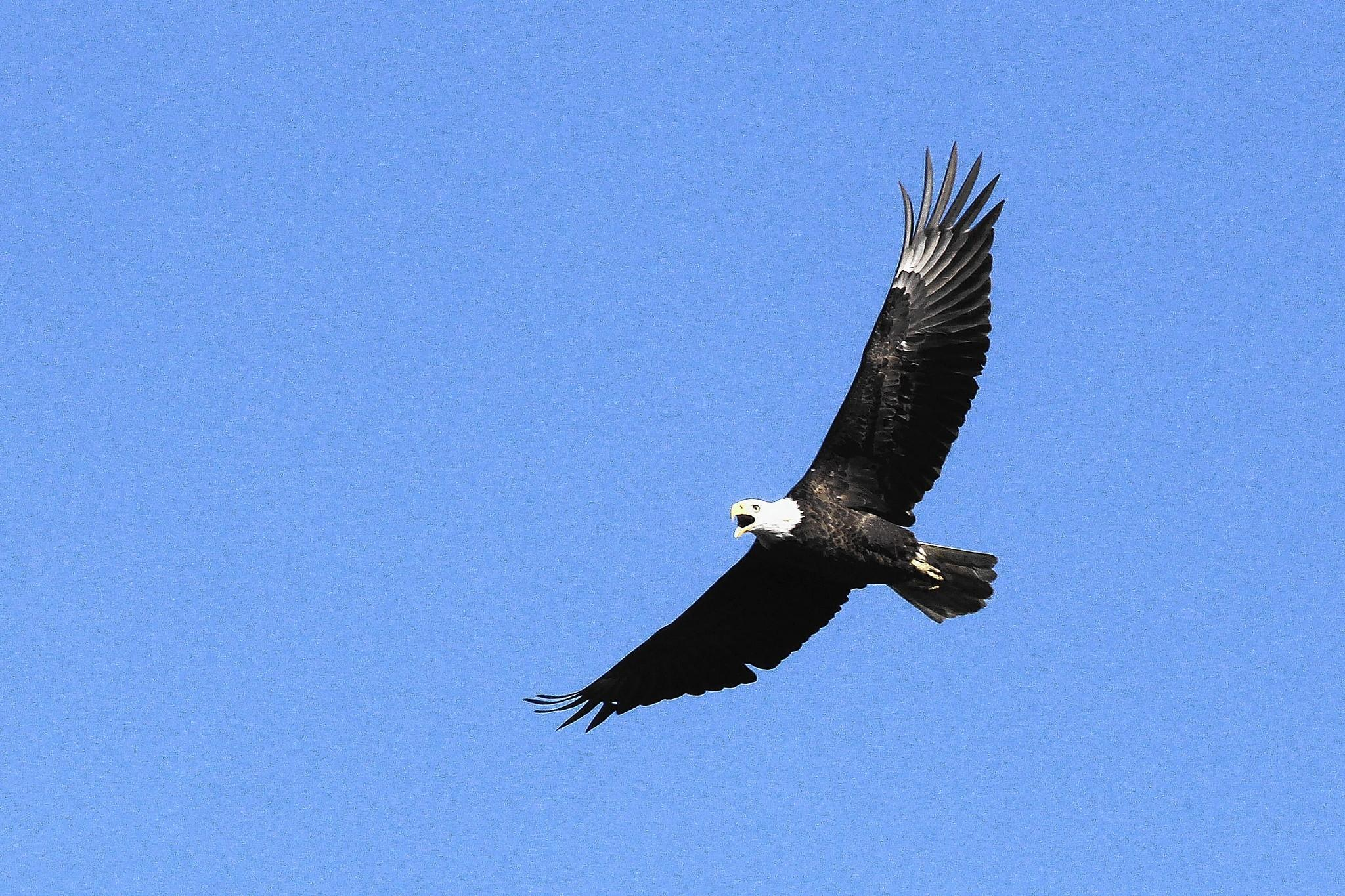 A bald eagle flies above Jamestown Island near the Historic Jamestowne Museum on Thursday morning.