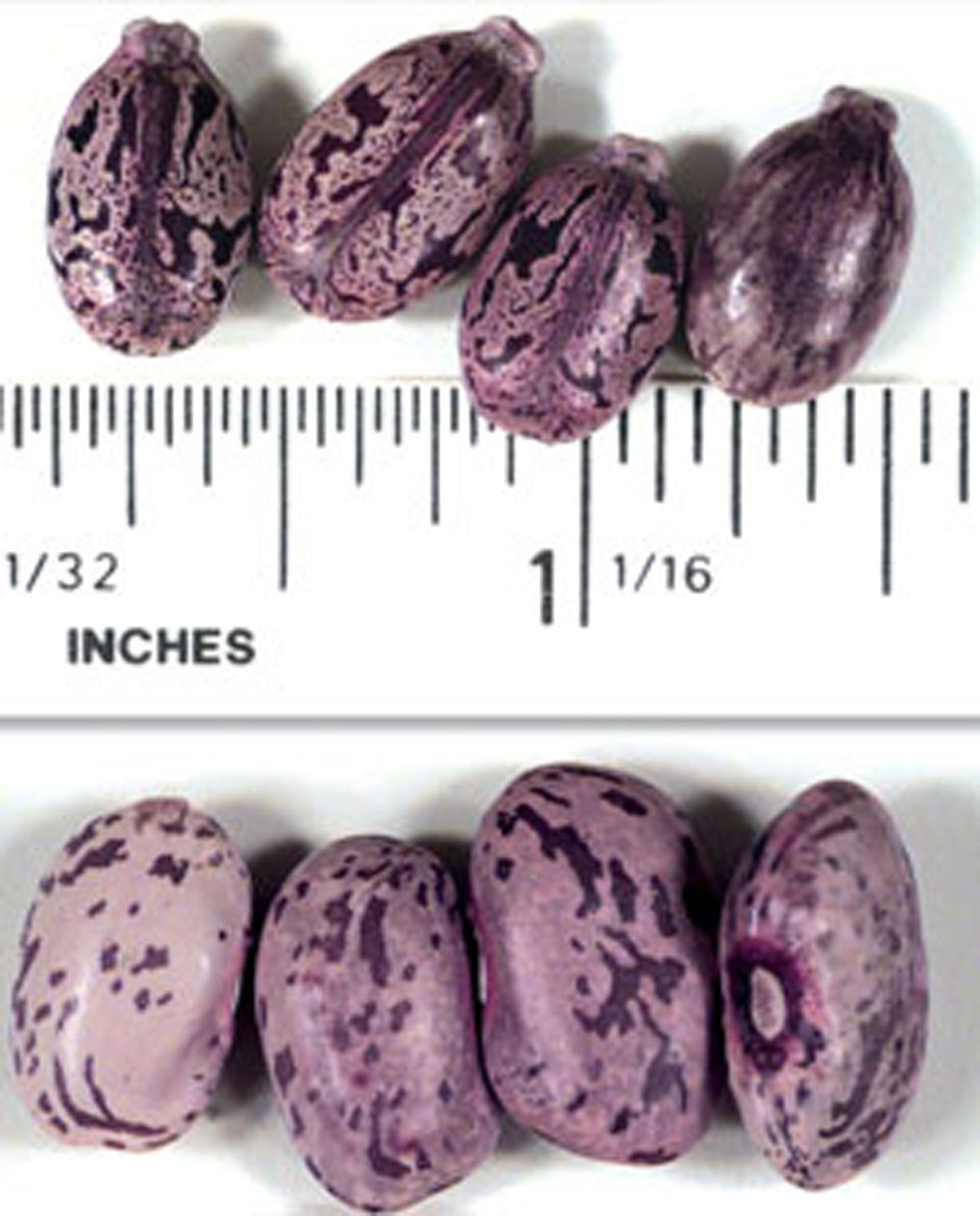 Castor beans (shown on top) are used to produce ricin, a deadly poison, as pictured in this handout photo from the National Counter Terrorism Centre. They are similar in color and size to pinto beans (shown on bottom), but have a small pointed protrusion on the end.