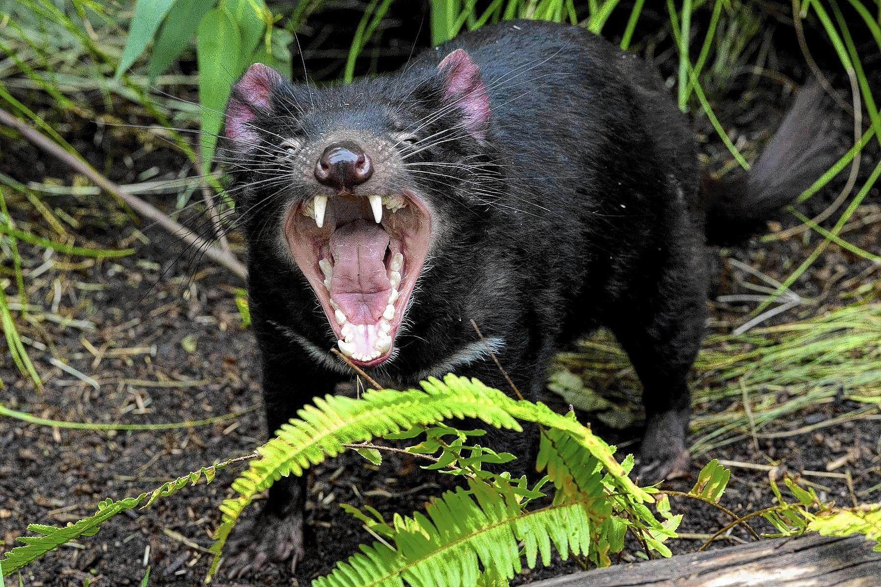 A Tasmanian devil emotes. Four are on loan from Australia to the San Diego Zoo as part of a public relations effort to alert the world to the plight of the creatures, which are threatened with extinction because of a contagious form of cancer.