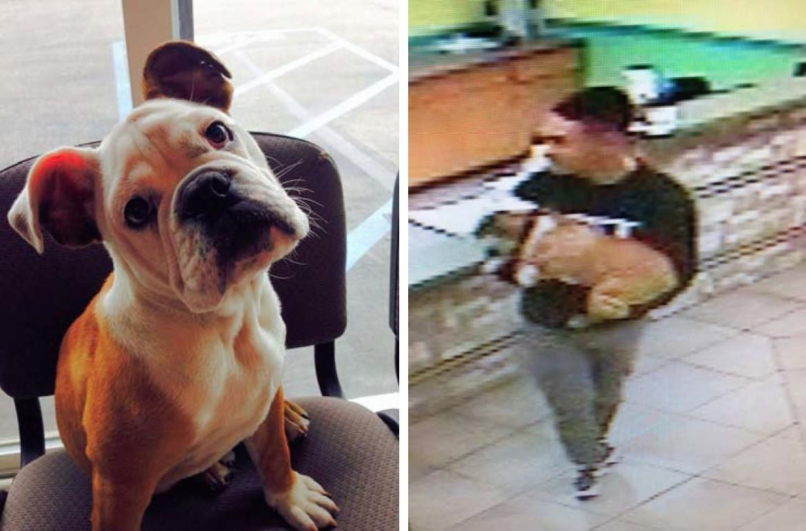An English bulldog named Schroeder, left, was taken from a pet day care facility in San Marcos by a man who claimed to be its owner, seen in surveillance video, right, according to the San Diego County Sheriff's Department. A $1,000 reward is being offered for an arrest and the return of Schroeder.