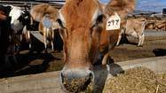 Health department links 6 illnesses to raw milk from Pa. dairy store