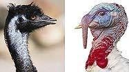 The great theme park turkey leg rumor: Turkey vs. emu