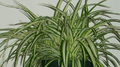 Scale Infested Spider Plants Need Help Trash Them Daily Press