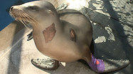 Wounded sea lion recuperating at SeaWorld