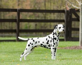 Dalmatian Earns Spot In Best In Show Daily Press