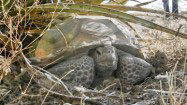 <b>Photos: </b> Protecting the desert tortoise