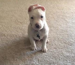 Thor, a puppy missing from his Baltimore County home, is deaf, according to his owners.