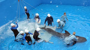 Pilot whale arrives at SeaWorld from Japan