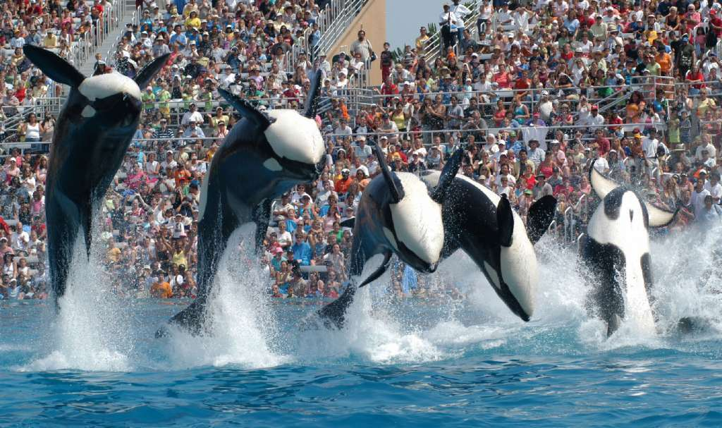 Killer whales at Sea World in a performance in 2006.