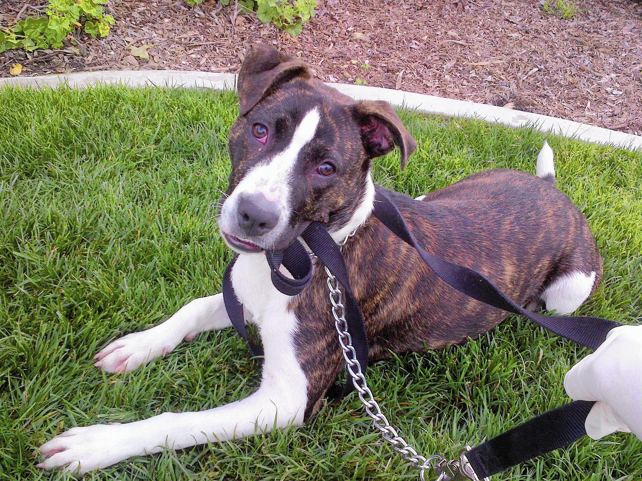 Star, a beautiful boxer and pitbull mix.