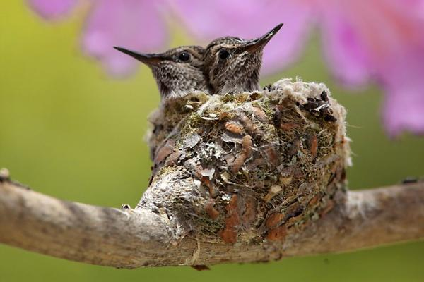 Amazing Photos Of Hummingbird Mom Babies