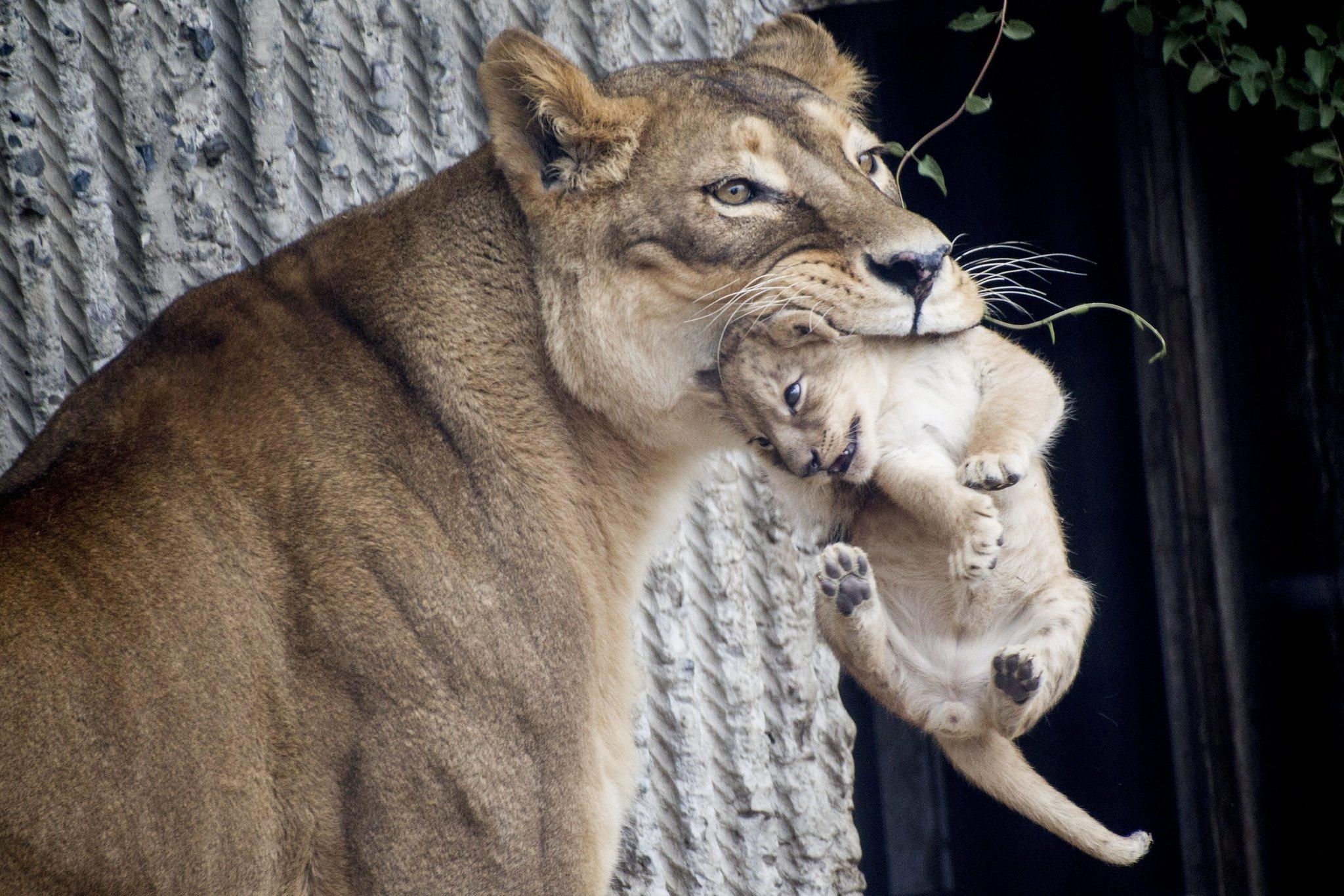 A file photo dated 17 July 2013 shows a lion and her cub entering the lions enclosure for the first time. Copenhagen Zoo is once again in the world news after it was reported on 25 March 2014, that the zoo put down four healthy lions. It sparked a world wide outrage when the zoo put down the giraffe Marius on 09 February 2014 and made a public autopsy. Marius was later fed to the lions.