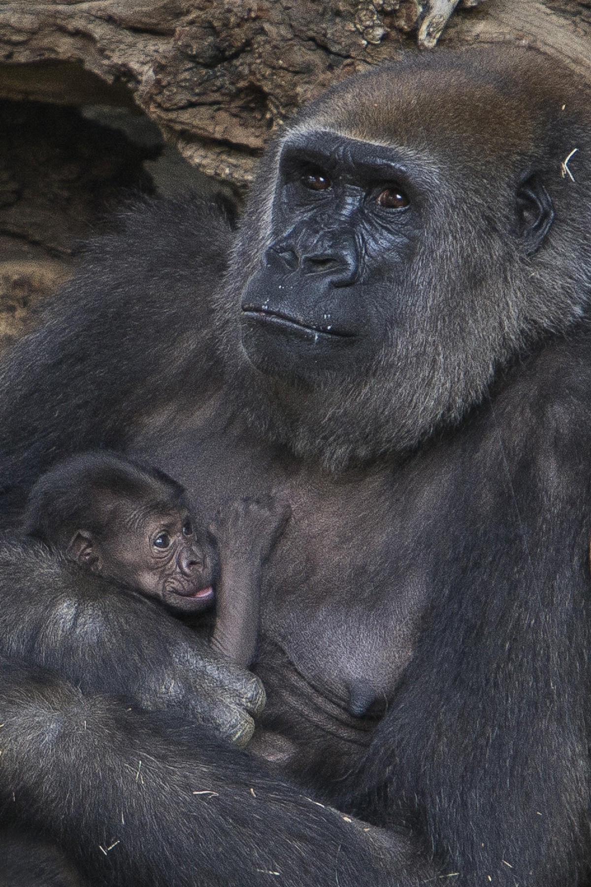 A new mother gorilla at the San Diego Zoo Safari Park ventured outdoors for the first time with her 13-day-old baby girl. The mother, Imani, and baby were only physically introduced to each other a day earlier.