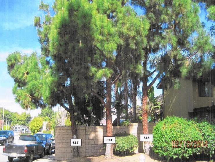 Kimberly DeBroux, a longtime Costa Mesa resident, is taking her case to save some Canary Island pine trees, pictured, to the county courthouse.