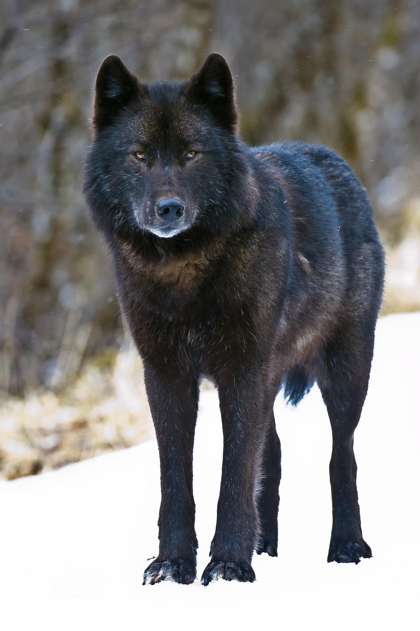 An Alexander Archipelago wolf, found only in southeast Alaska.
