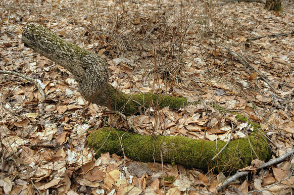 A moss-covered tree limb resembles a green, coiled up snake along a trail at Hurd State Park.
