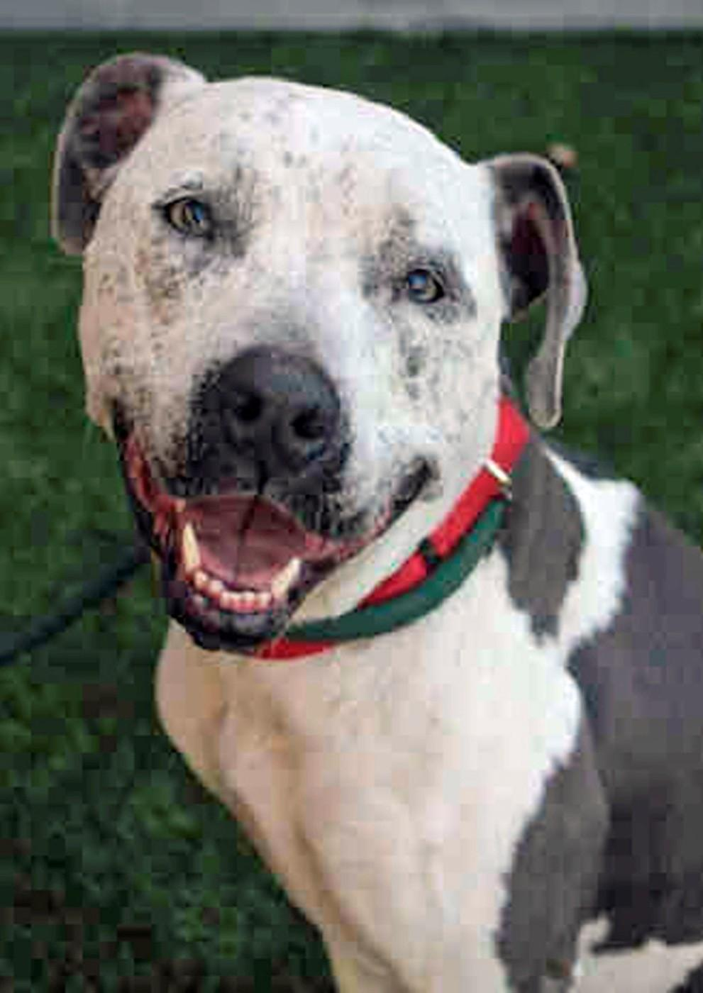 Blue is a three-year-old gray and white pit bull mix up for adoption.