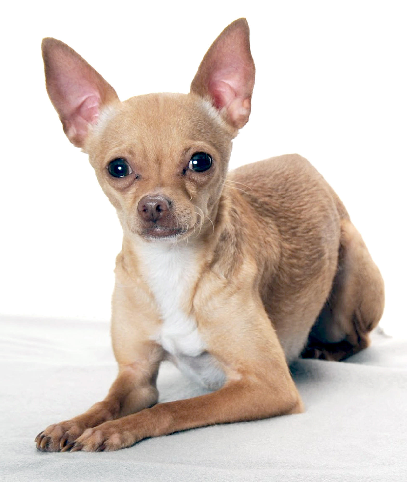 Bugs, a brown-coated Chihuahua, is up for adoption.