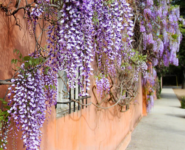 Wisteria vines hang from a building in South Pasadena.