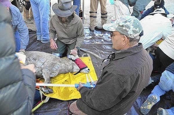 A blindfolded bighorn sheep captured in the Inyo National Forest is examined before it and 13 other bighorns were transported by helicopter to the Big Arroyo area of Sequoia National Park on the west side of the Sierra Nevada. The sheep have not occupied that part of the Sierra for more than a century.