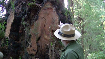 California's ancient redwood trees under attack
