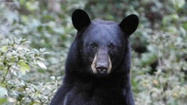 5 bears killed since attack; residents say beasts have lost their fear