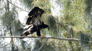 Pines eaglets take to the air