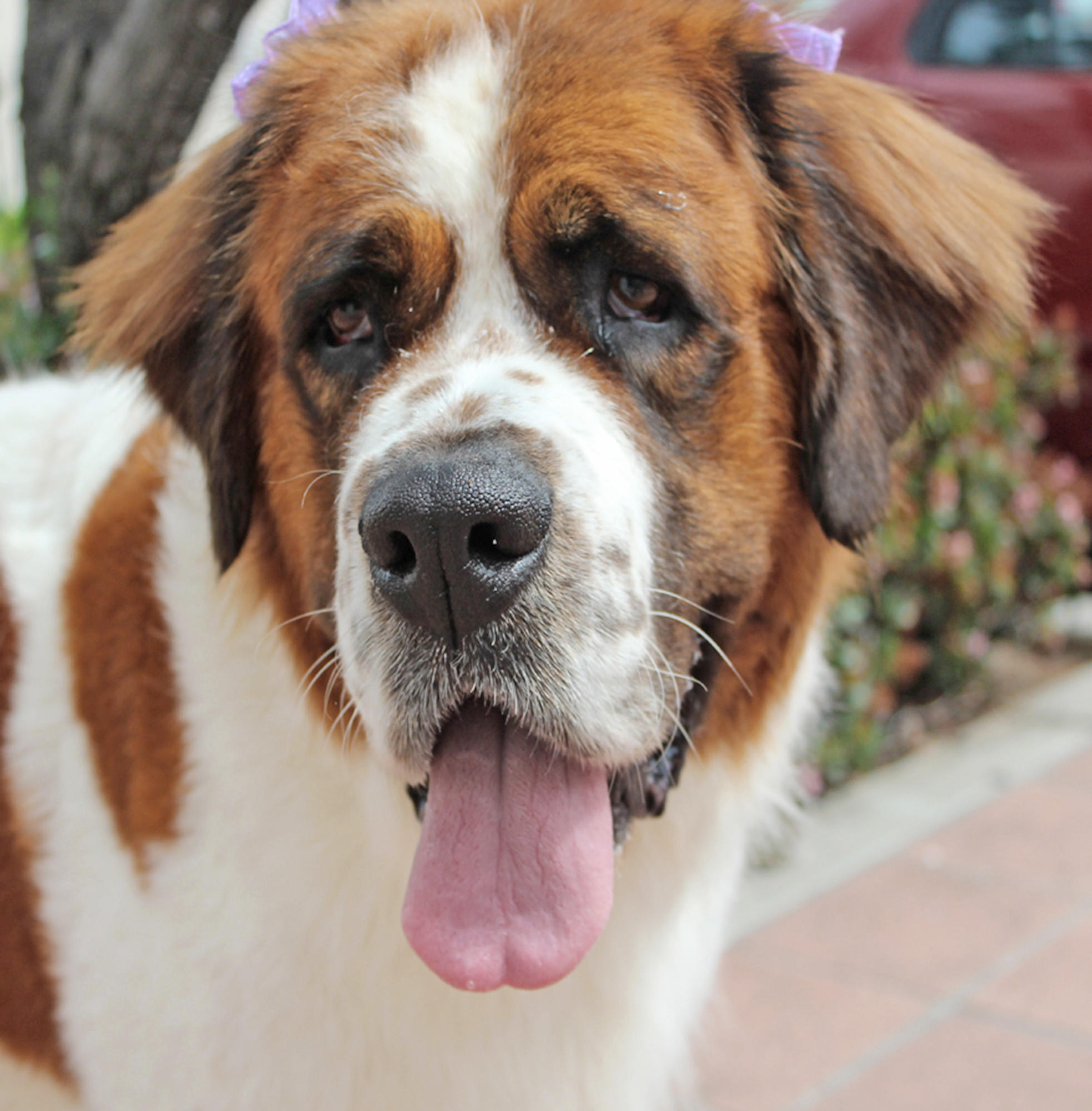 Dakota (A353359) is a five-year-old St. Bernard up for adoption.