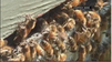 Passengers abuzz after plane hits swarm of bees [Video]