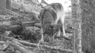 California panel postpones decision on protecting gray wolves