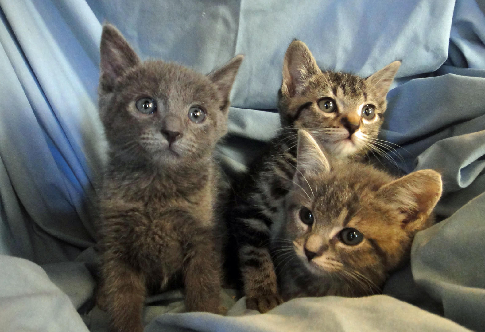 Cloudy (male Russian Blue), Misty (female Silver Tabby), and Windy (female Black Marble Bengal-Tabby).