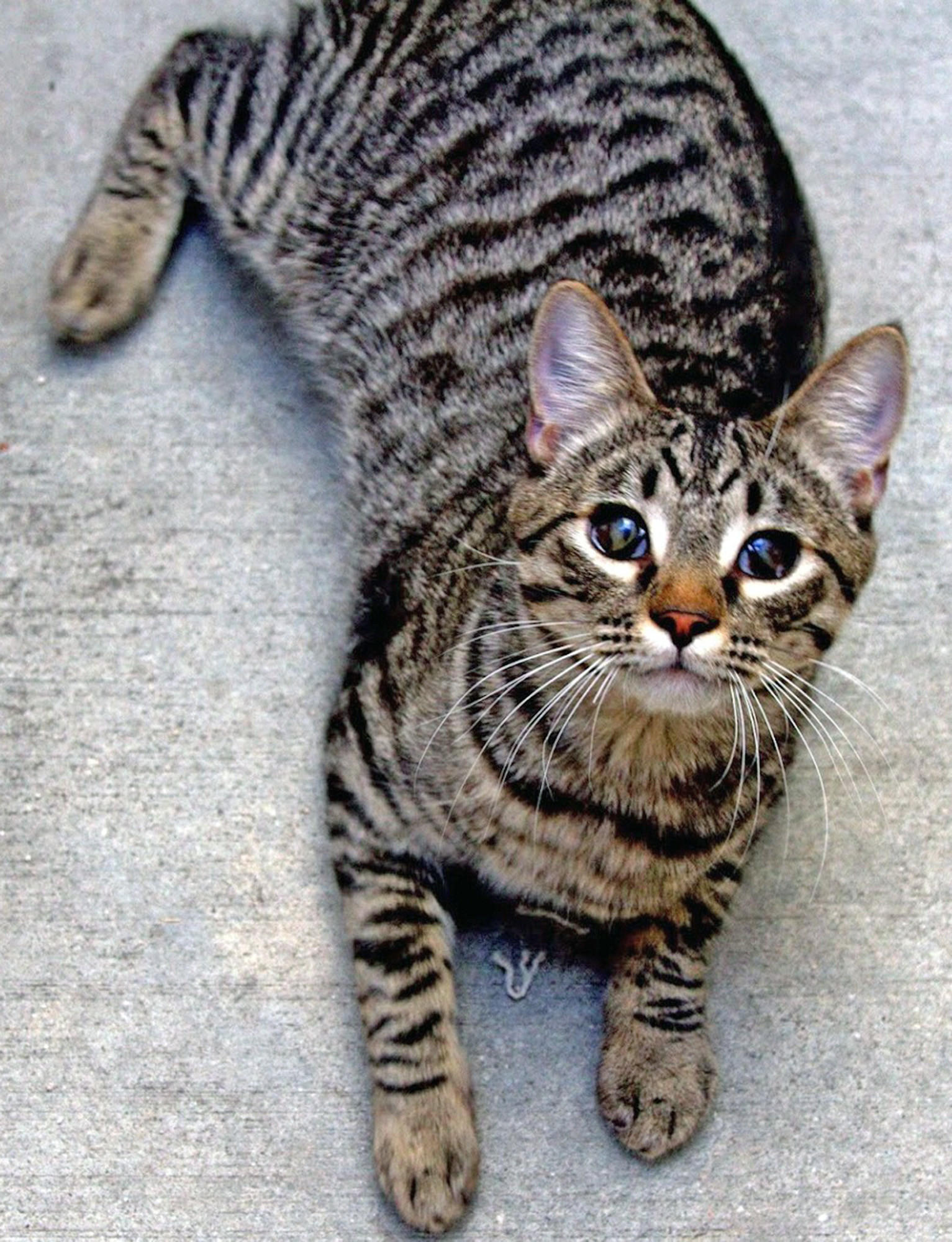 Joe is a brown tiger Domestic Shorthair up for adoption by the Burbank Animal Shelter.
