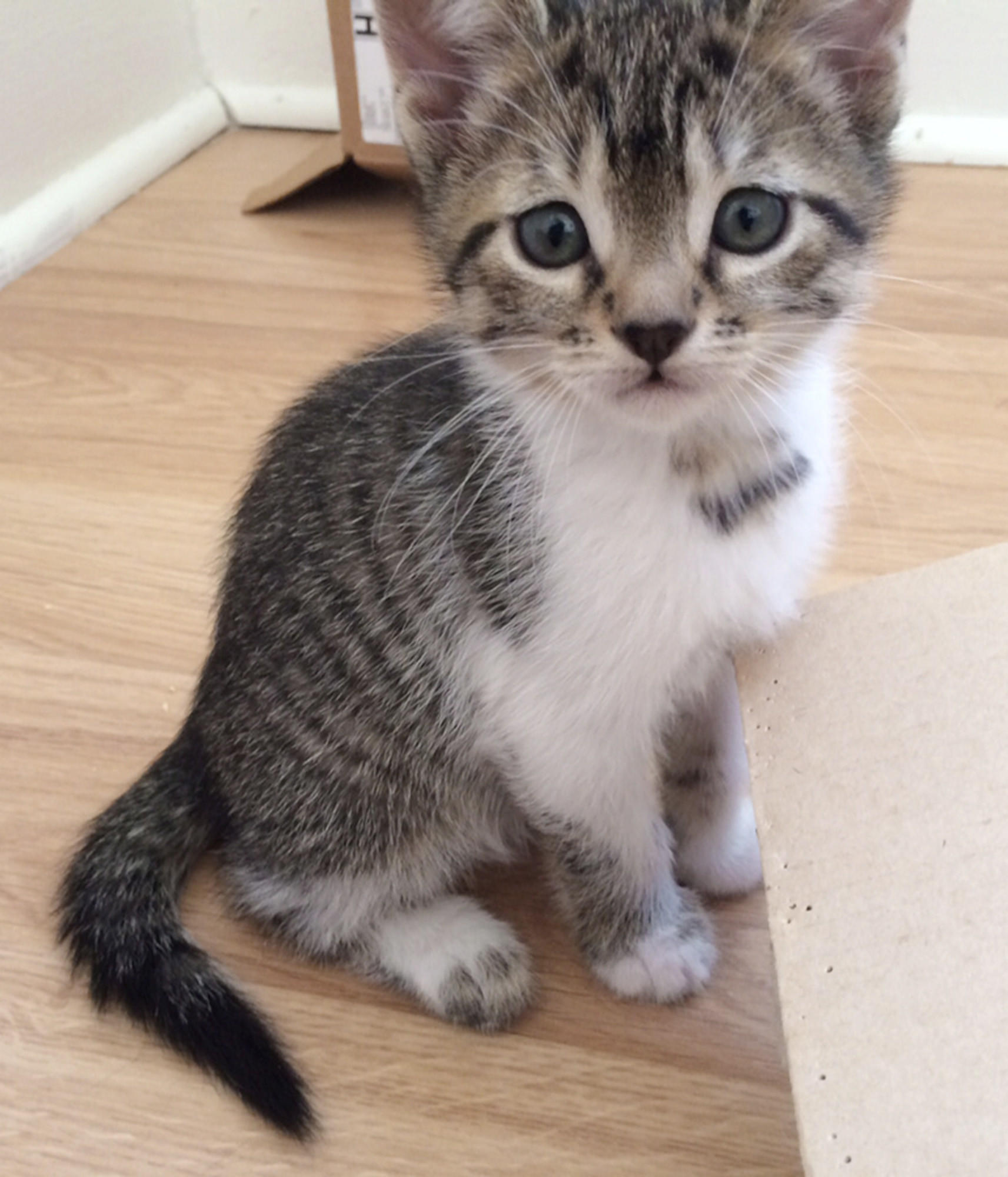 Claudette is a two-month-old brown tabby kitten up for adoption.