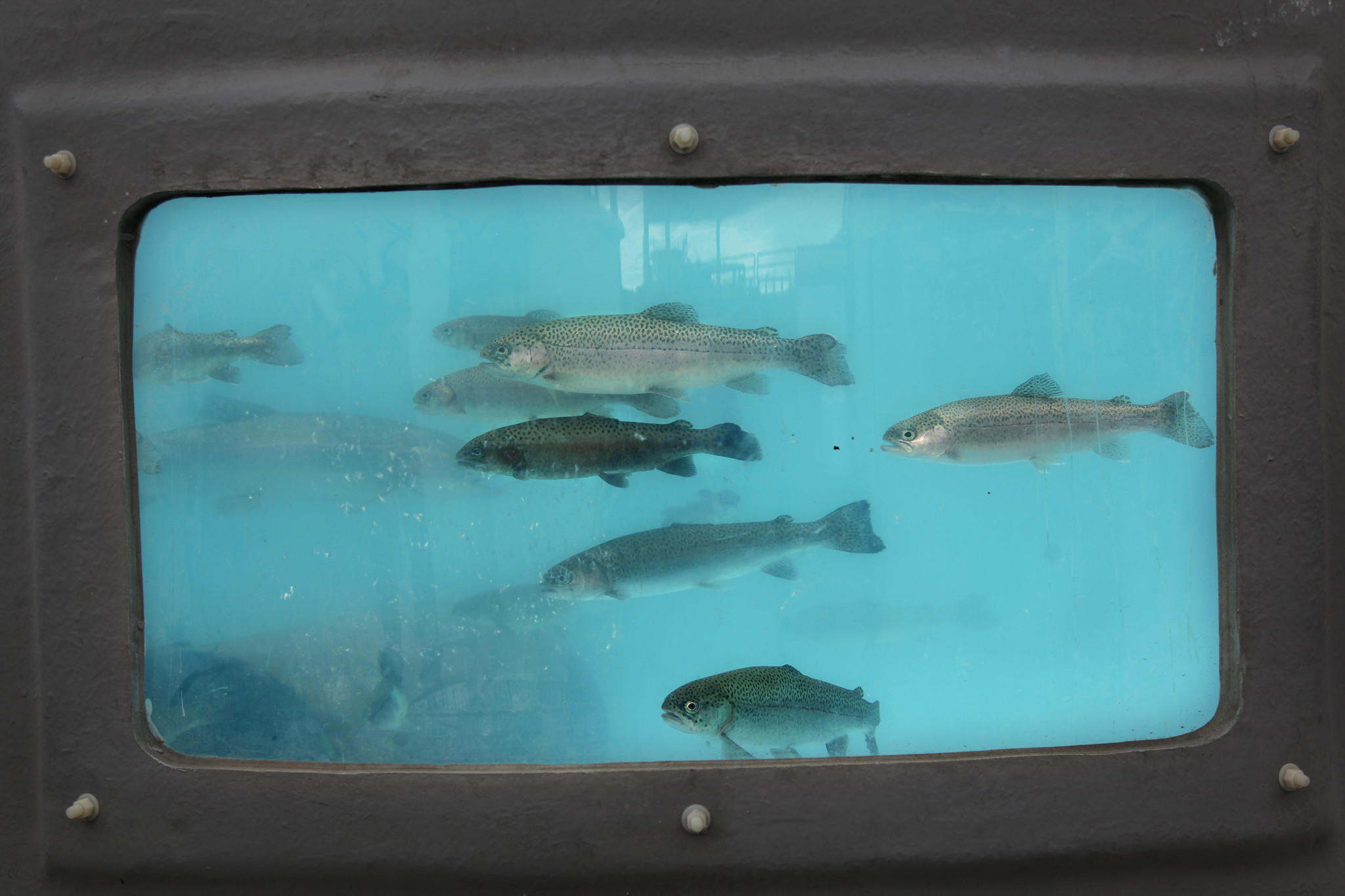 Rainbow trout -- some of which for still unknown reasons develop into steelhead -- hang out in a holding tank awaiting their debut at the Aquarium of the Pacific. The new exhibit showcasing them will open May 23.