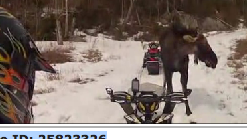 Caught on Camera: Moose charges at snowmobilers in Jackman