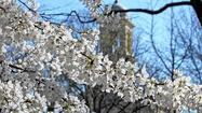 Family-Friendly Cherry Blossom Festival In New Haven