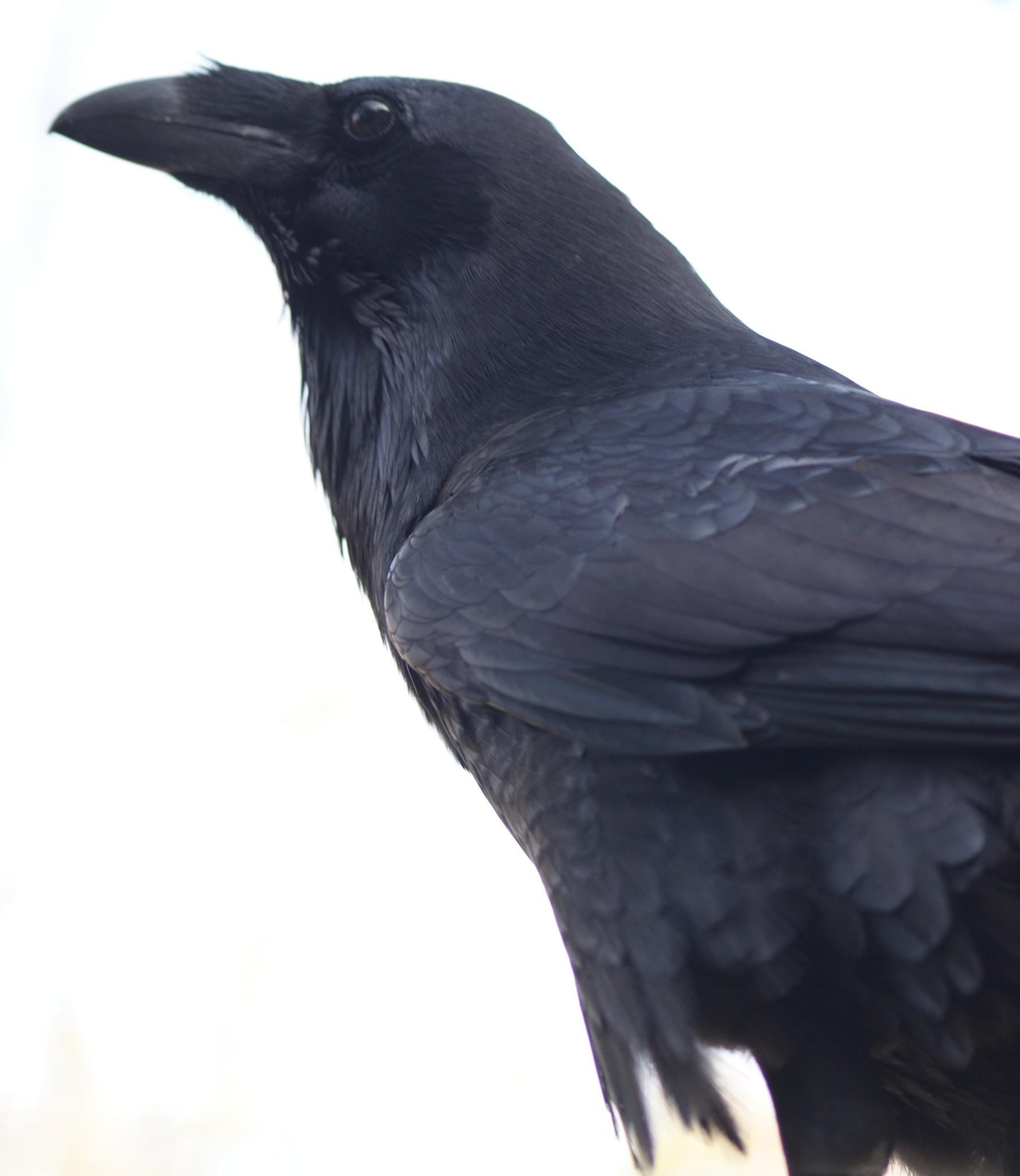 This raven is playing close attention to the calls of other birds being played back during the study.