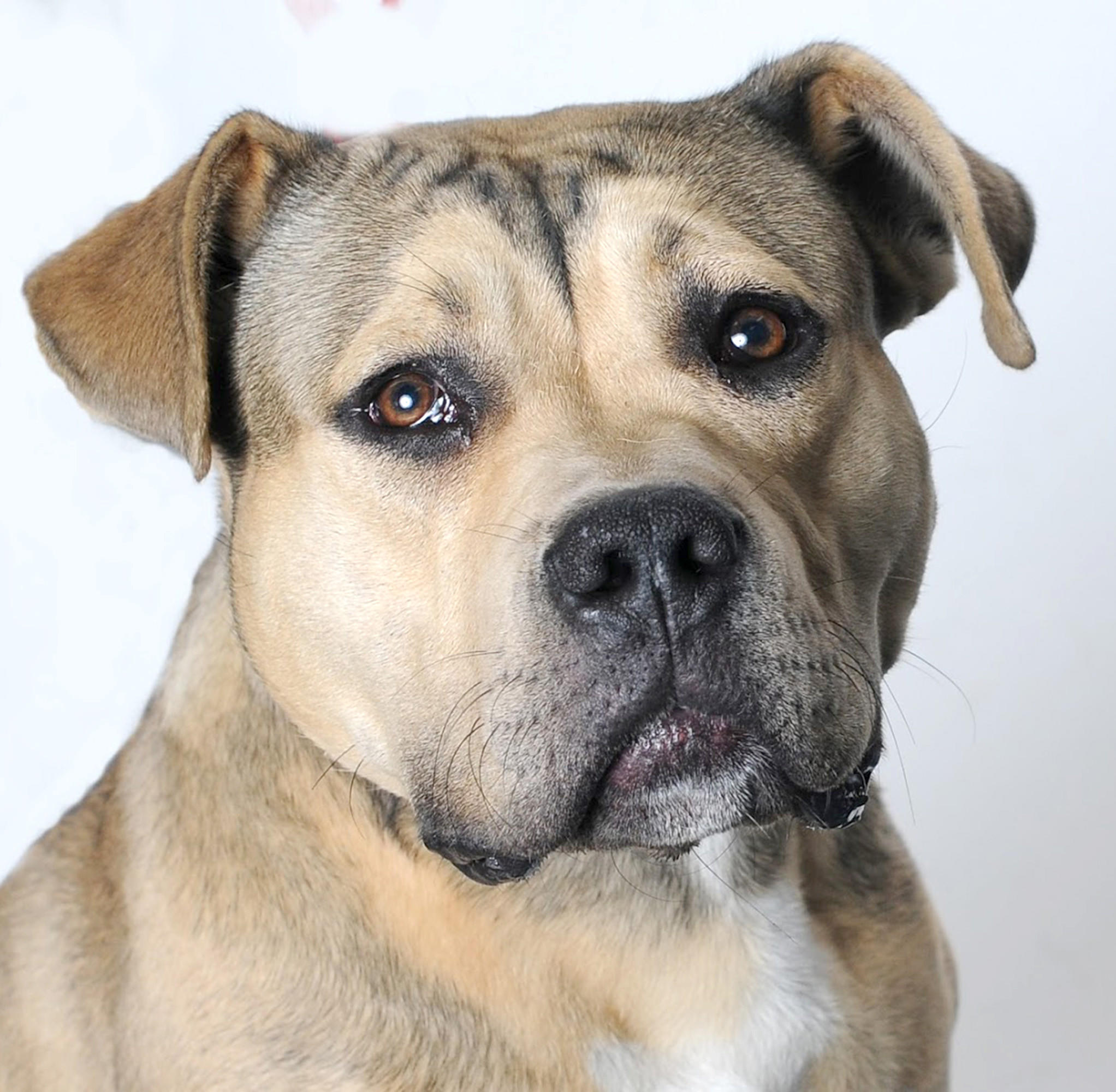 Roo is a 1-year-old pit bull terrier/Rottweiler mix up for adoption at the Burbank Animal Shelter.