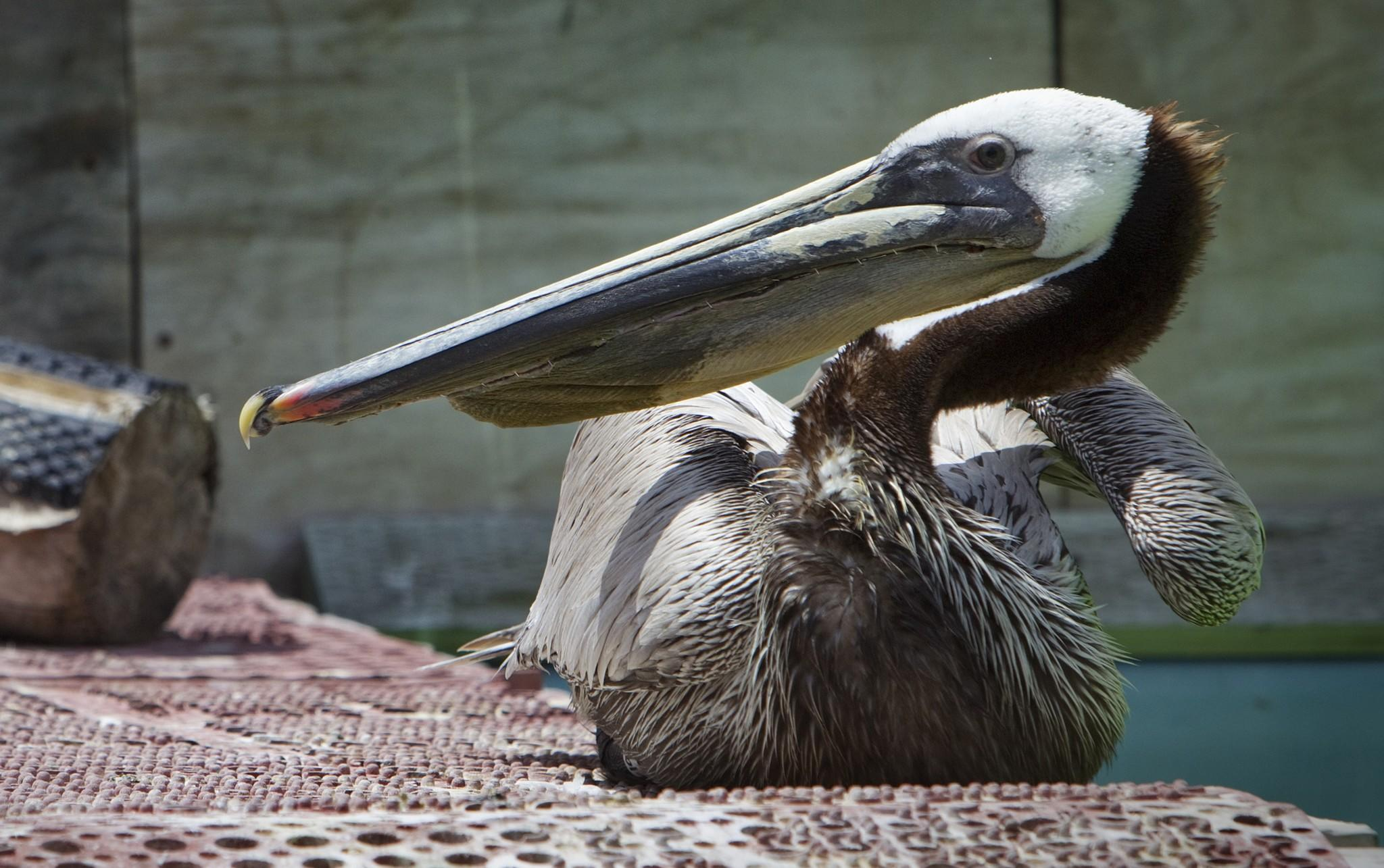 A brown pelican was found with its pouch slashed and is now recovering at a bird rescue center in San Pedro. The reward for information about the attack has risen to $7,500 in just a few hours.