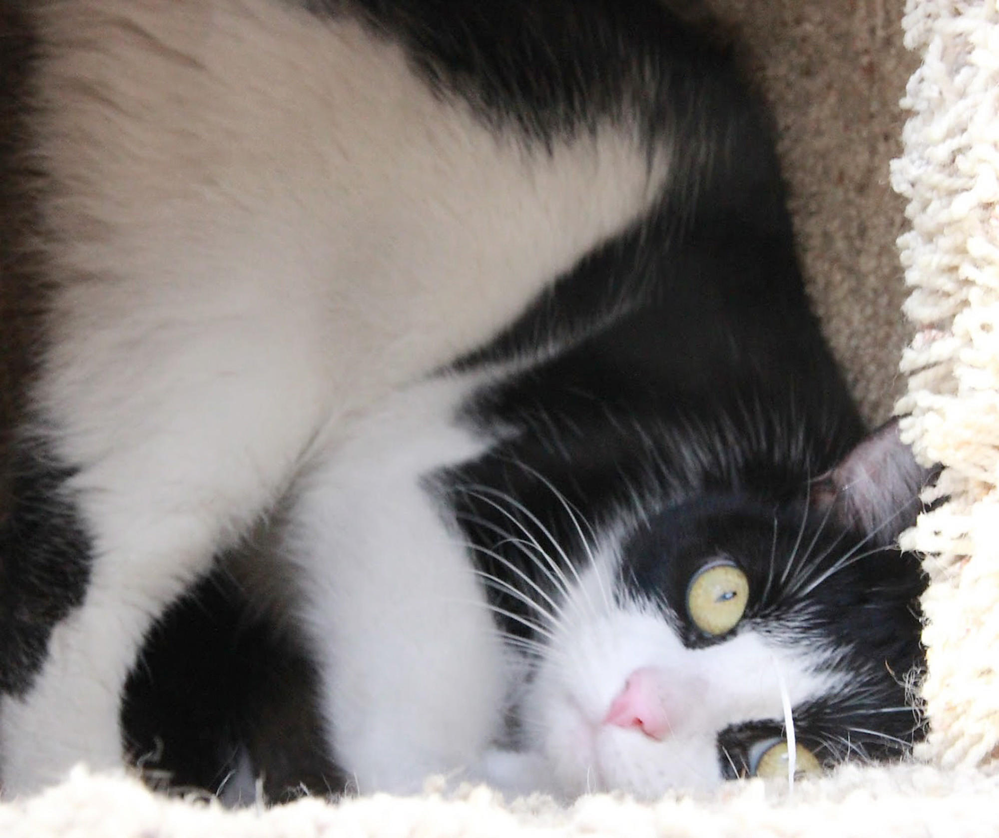 Darla is a 7-year-old black and white cat up for adoption by the Burbank Animal Shelter.