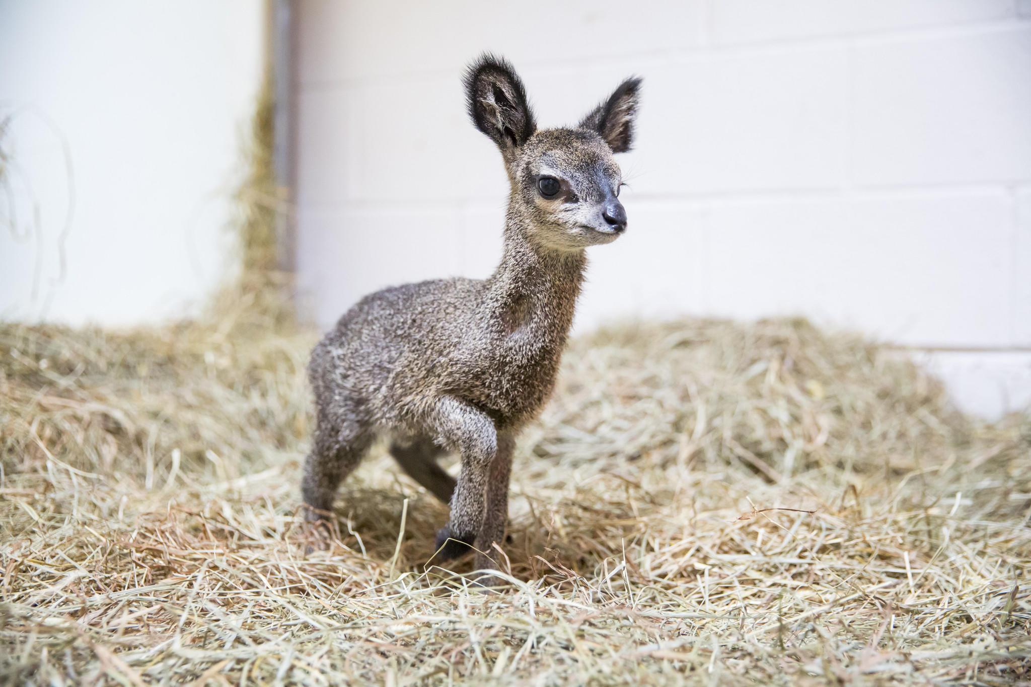 Lincoln Park Zoo baby klipspringer, a dwarf antelope.