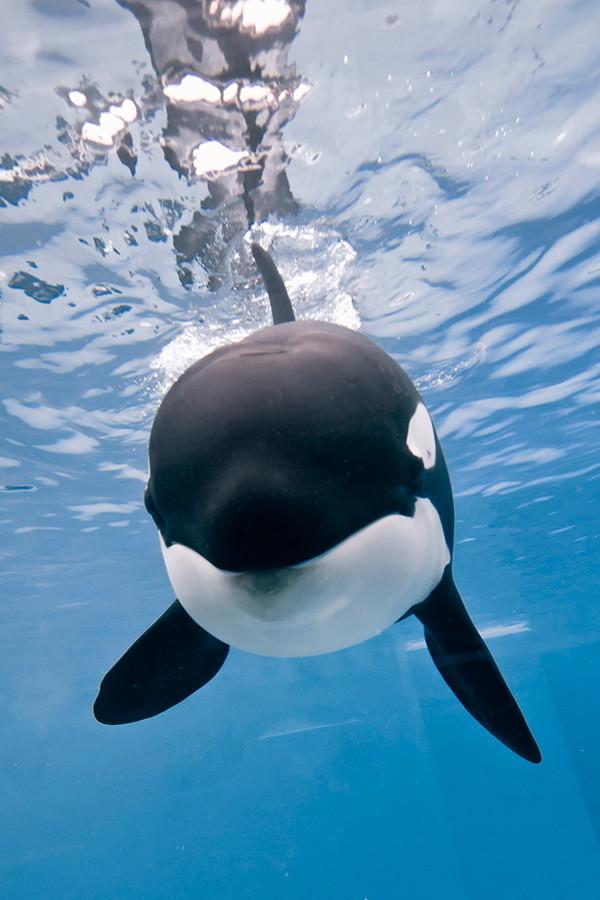 Killer Whale At SeaWorld San Diego Is Pregnant LA Times